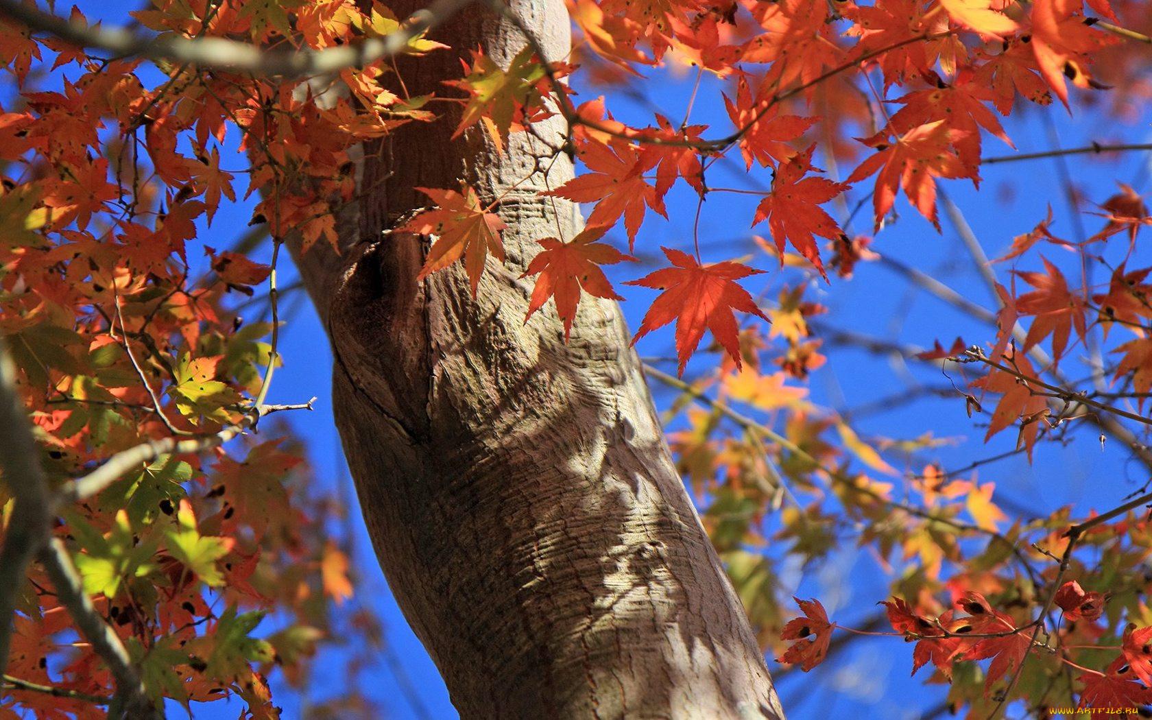 нижегородской ствол кленового дерева картинки однако, являются